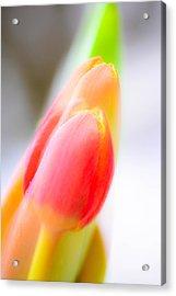 Abstract Tulips  Acrylic Print