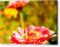 Abstract Zinnia Acrylic Print by Beth Collins