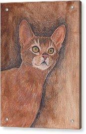 Abyssinian Cat Acrylic Print by Nicole Grattan