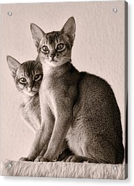 Abyssinian Kittens Acrylic Print