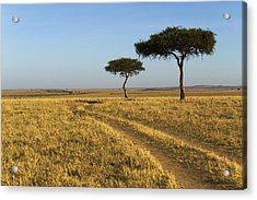 Acacia Trees In The Maasai Mara Acrylic Print by Nigel Hicks