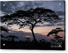 Acacia Trees Sunset Acrylic Print by Chris Scroggins