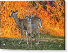 Acadia Deer Acrylic Print by Darren White