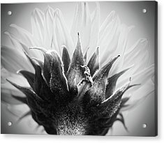 Accrescent Acrylic Print