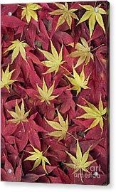 Acer Autumn Acrylic Print by Tim Gainey