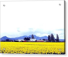 Acres Of Daffodils Acrylic Print by Will Borden