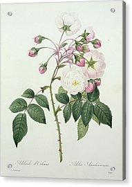 Adelia Aurelianensis Acrylic Print by Pierre Joseph Redoute