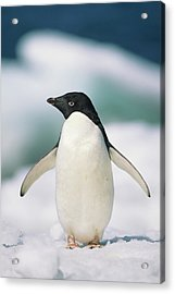 Adelie Penguin, Close-up Acrylic Print by Tom Brakefield
