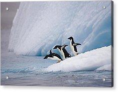Adelie Penguin Trio Diving Acrylic Print by Suzi Eszterhas