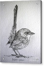 Adolescent Blue Wren Acrylic Print