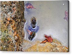 Acrylic Print featuring the photograph Adopted Amphibian by Al Powell Photography USA