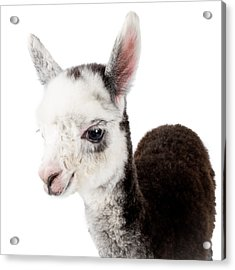 Acrylic Print featuring the photograph Adorable Baby Alpaca Cuteness by TC Morgan