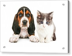 Adorable Basset Hound Puppy And Kitten Sitting Together Acrylic Print