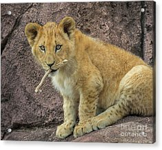 Adorable Lion Cub Acrylic Print