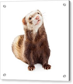 Adorable Pet Ferret Looking Up Acrylic Print by Susan Schmitz