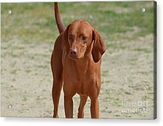 Adorable Redbone Coonhound Standing Alone Acrylic Print