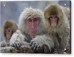 Adult And Two Young Acrylic Print by Roy Toft