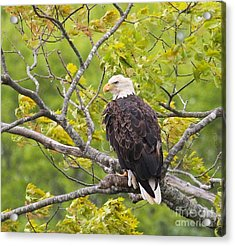 Acrylic Print featuring the photograph Adult Bald Eagle by Debbie Stahre