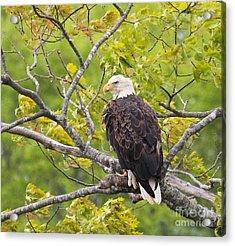 Adult Bald Eagle Acrylic Print