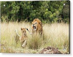 Adult Lion And Cub In The Masai Mara Acrylic Print