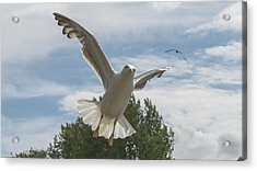 Adult Seagull In Flight Acrylic Print