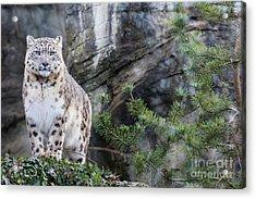 Adult Snow Leopard Standing On Rocky Ledge Acrylic Print