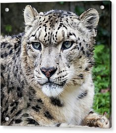 Adult Snow Leopard Portrait Acrylic Print