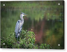 Advice From A Great Blue Heron Acrylic Print