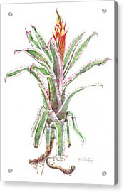 Aechmea Orlandiana 'ensign' Acrylic Print by Penrith Goff