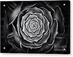 Aeonium Arboreum Acrylic Print by Tim Gainey