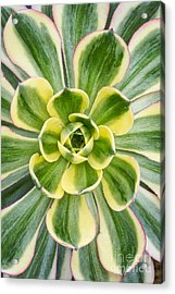 Aeonium Sunburst Acrylic Print by Tim Gainey