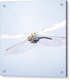 Aeshna Juncea - Common Hawker In Acrylic Print