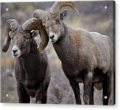 Affectionate Rams Acrylic Print