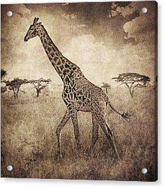 Africa Series - Giraffe Acrylic Print by Brett Pfister
