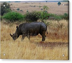 African Animals On Safari - One Very Rare White Rhinoceros Right Angle With Background Acrylic Print