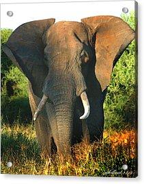 African Bull Elephant Acrylic Print