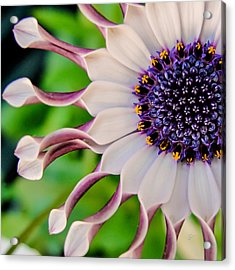 Acrylic Print featuring the photograph African Daisy Squared by TK Goforth