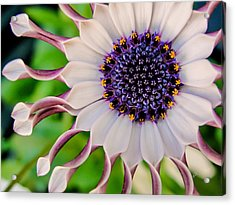 Acrylic Print featuring the photograph African Daisy by TK Goforth