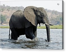African Elephant - Bathing Acrylic Print