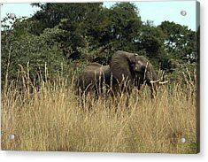 African Elephant In Tall Grass Acrylic Print