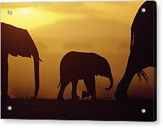 African Elephant Loxodonta Africana Acrylic Print by Karl Ammann