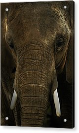 Acrylic Print featuring the photograph African Elephant by Michael Cummings