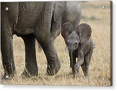African Elephant Mother And Under 3 Acrylic Print