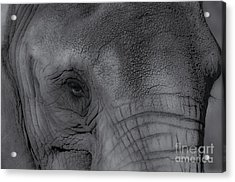 African Elephant One Eye View Black And White Acrylic Print by Photo Captures by Jeffery