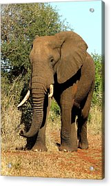 Acrylic Print featuring the photograph African Elephant by Riana Van Staden