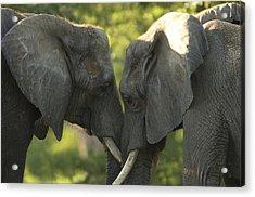 African Elephants Loxodonta Africana Acrylic Print by Joel Sartore
