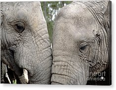 African Elephants Acrylic Print by Neil Overy