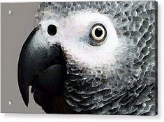 African Gray Parrot Art - Softy Acrylic Print by Sharon Cummings