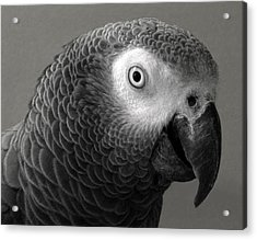 African Gray Acrylic Print by Sandi OReilly