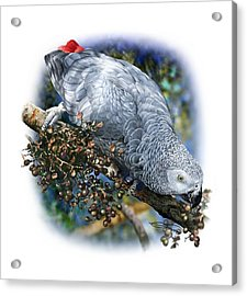 African Grey Parrot A1 Acrylic Print by Owen Bell